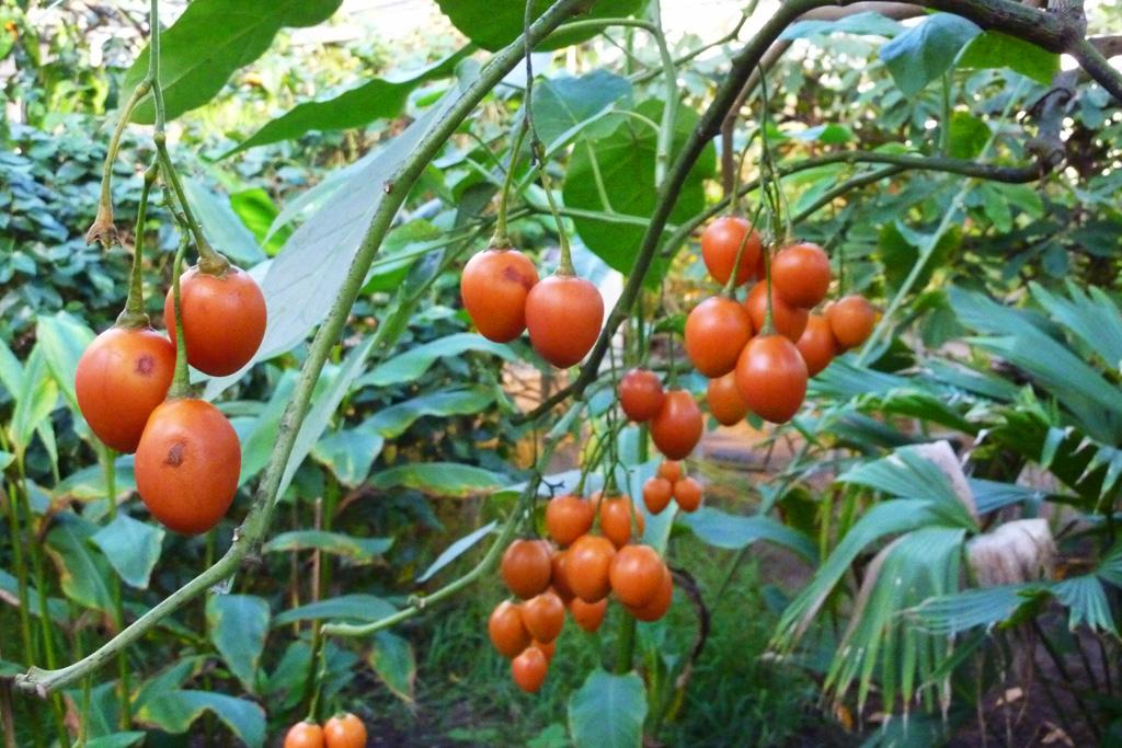 Тамарилло выращивание фото
